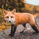 names with fox