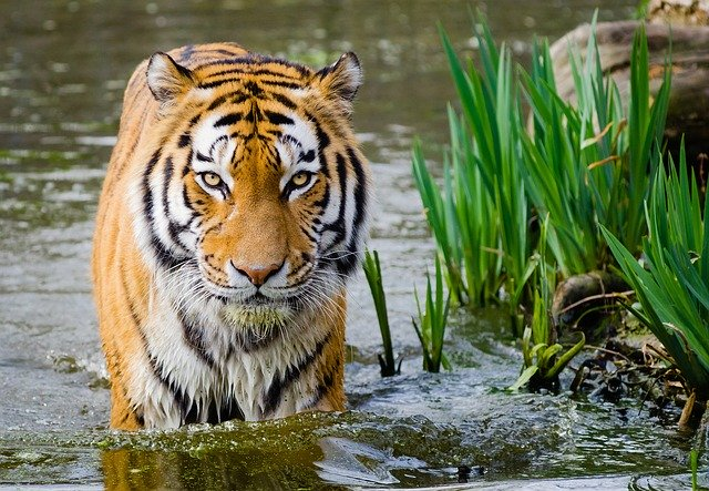 male tiger names