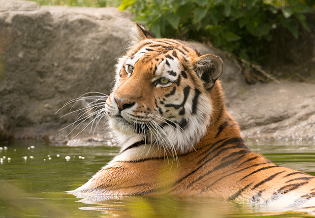 name-that-means-tiger