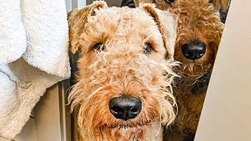 Airedale-Terriers