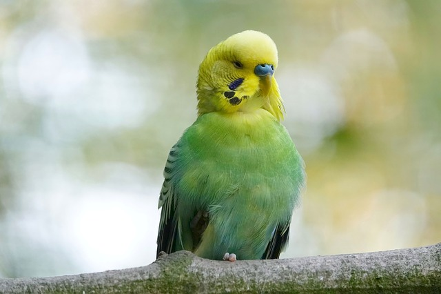 budgie-male parrot