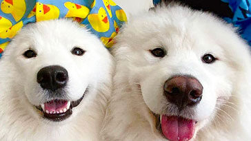 samoyed-dogs