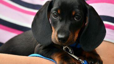 male dachshund dog names 2